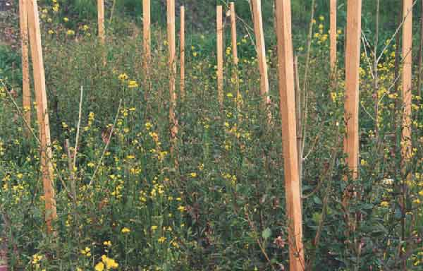 brassica and hybrid poplar in first cell