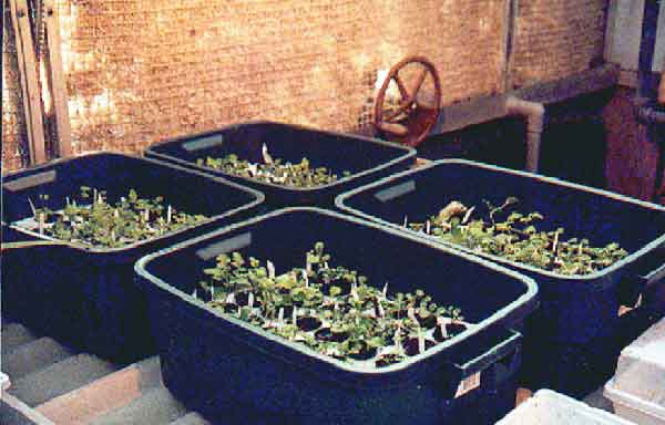 brassica screening early growth
