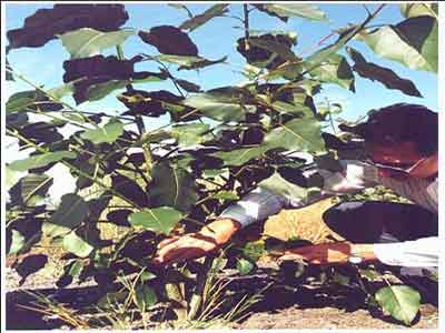 Biologist Bill Duncan examines  first year growth on hybrid poplar tree planted on remediated landfill cap