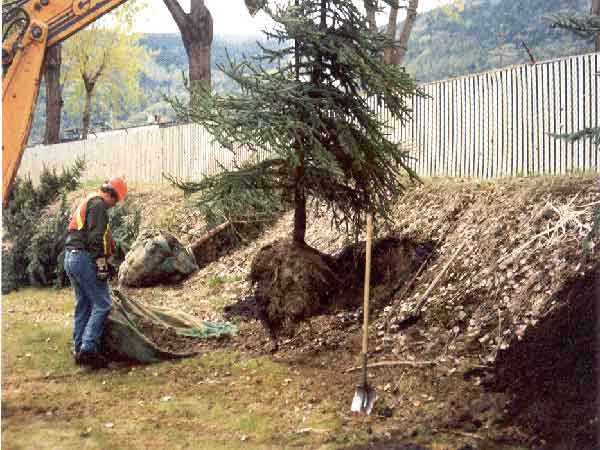 planting large trees in soil treated with biosolids