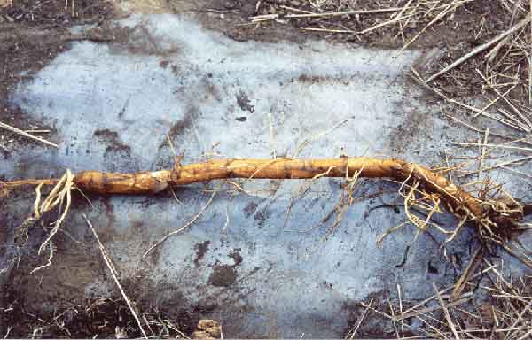 typha rhizome after four years of metal removal